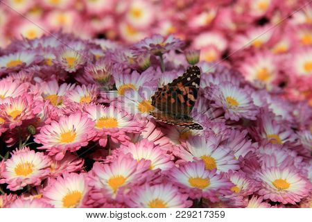 Gorgeous Bed Of Hardy Mums In Pink, Yellow And White, With Single Butterfly Perched On Top.