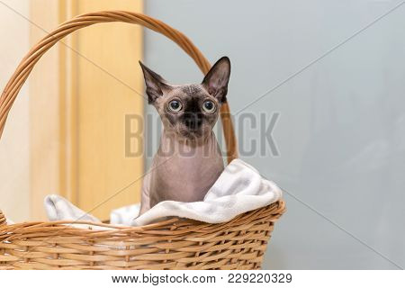 Bald Hairless Cat Of Breed The Canadian Sphynx, The Cat Is Sitting In Wicker Basket Pet Cat With Big