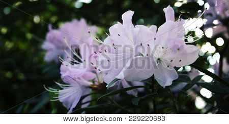Lilac Azalia Flowers Bloom In Spring Season. Branch Of Rhododendron. Flowering Bush. Retro Effect Ph