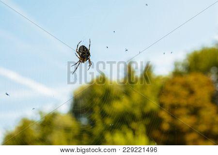 A Closeup Photography Of A European Garden/cross (araneus Diadematus) Sits On His Cobweb.