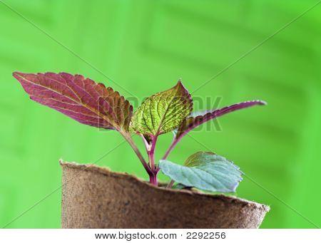 Seedling In Peat Pot