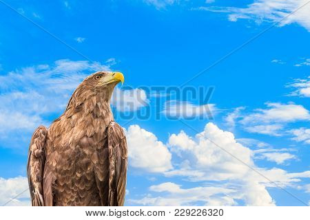 Portrait Of White-tailed Eagle. Bird Of Prey Orlan Whitetail On A Blue Cloudy Sky Background.