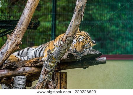 Amur Tiger Sleeping On Wooden Branches. Sleeping Carnivore.