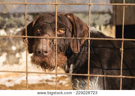 Sad Dog Behind The Bars, Hunting Dog With Sad Eyes
