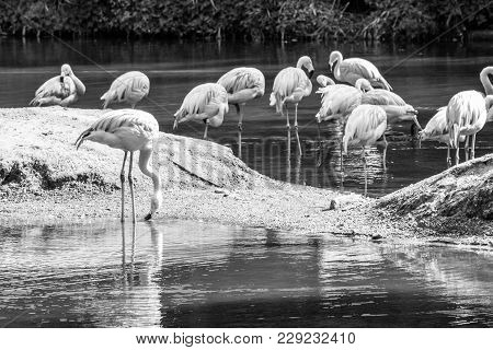 Group Of Chilean Flamingos Feeding In A Pond