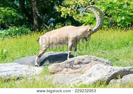 Nubian Ibex In A Challenging Position