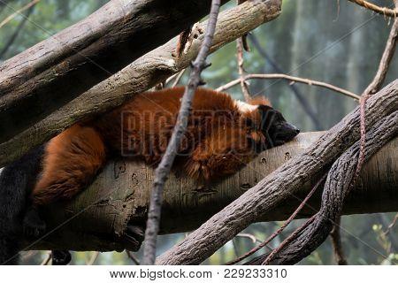Resting Red-ruffed Lemur