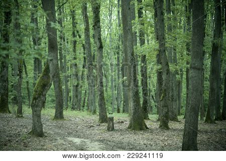 Old Tall Trees With Moss In Forest. Trees With Green Leaves In Forest. Beautiful View Of Deciduous F