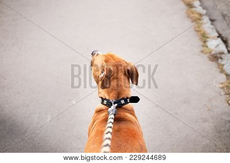Young, Beautiful, American Staffordshire Terrier With Owner Spend A Day In The Park And Playing.