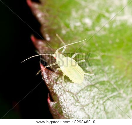 Aphids On The Plant. Macro . In The Park In Nature
