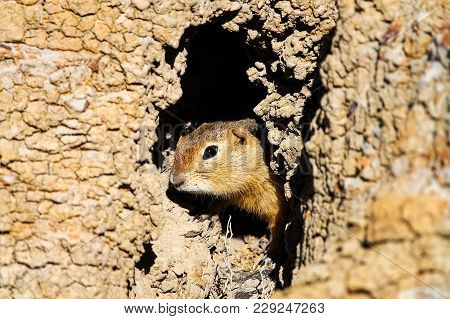 A Richardsons Ground Squirrel Looks Out Of Its Hole.