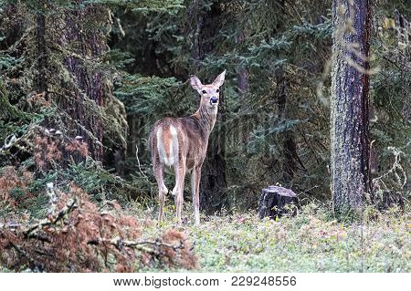 A White Tail Deer Looks Backs From The Forest Edge.