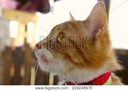 Close Up Portrait Of A Sick Cat.a Cat With A Bad Teeth. Ginger Cat Close Up.