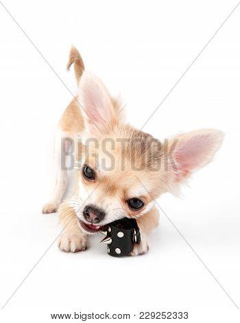 Chihuahua Puppy Playing With Leather Spike Rocker Ring Close-up On White Background