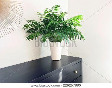 Parlor Palm Plant Decorating Black Wooden Dresser. Modern Home Decor.