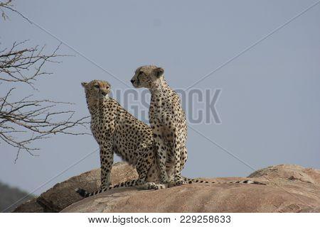 Cheetah (acinonyx Jubatus(duma) In Samburu National Reserve.