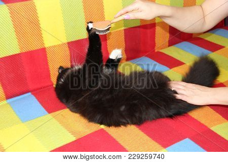 Mistress Combing Her Cat. Caring For Cat Fur. Woman Hand Combing By Comb Black And White Fluffy Cat.