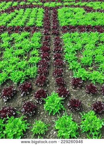 Summer Garden With Red And Green Lettuce. Healthy Food.