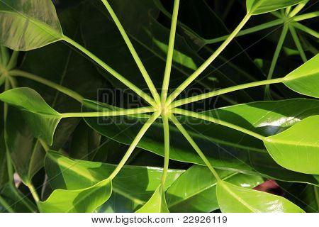 Green Starburst