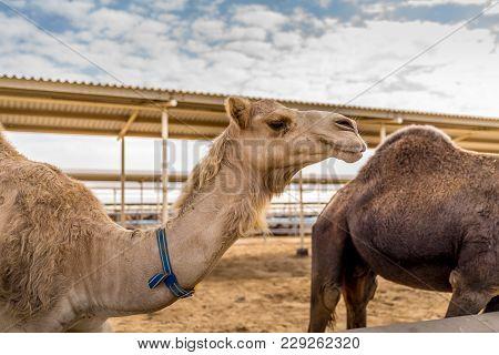 Camels In Dubai United Arab Emirates Camel Farm.