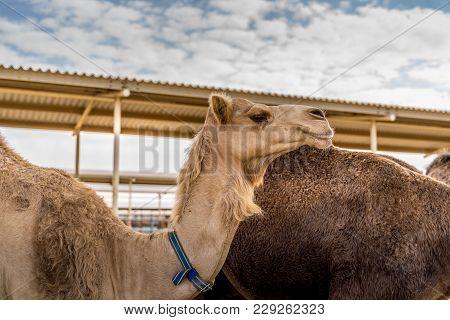 Camels In Dubai, United Arab Emirates Camel Farm.
