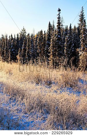 Hoar Frost In Grass And Spruce Trees Being Lit By Sunlight.