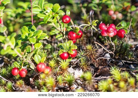 Bushes Of Bilberry With Ripe Berries Closeup