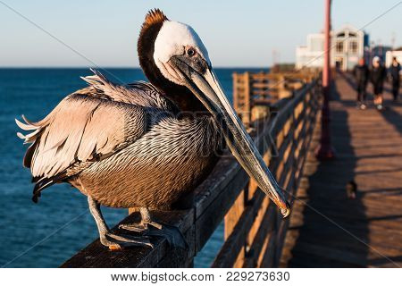 Side View Of A California Brown Pelican (pelecanus Occidentalis Californicus) On The Railing Of The