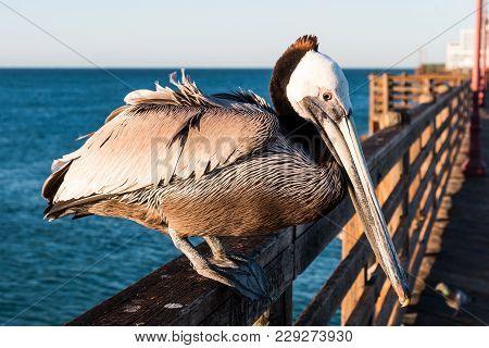 A California Brown Pelican (pelecanus Occidentalis Californicus) Sits On The Railing Of The Oceansid