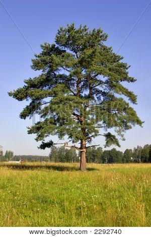 Single Pine