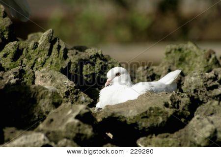 White Pigeon Among Rocks