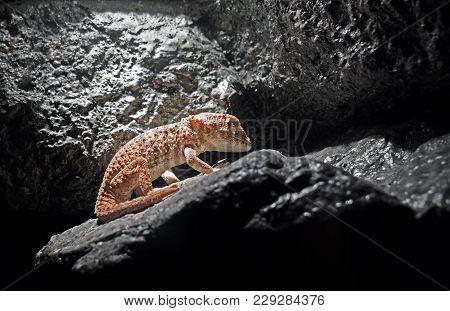 Closeup Helmeted Gecko Or Tarentola Chazaliae Sleeping In The Cave