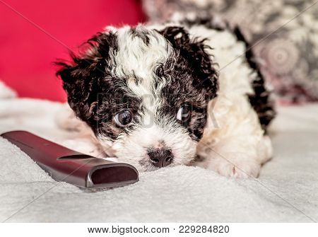 Cute Black And White Puppy On The Sofa Chewing The Cover