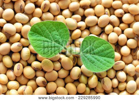 Young Soy Plant, Germinationg From Soy Seeds. Soy Agriculture