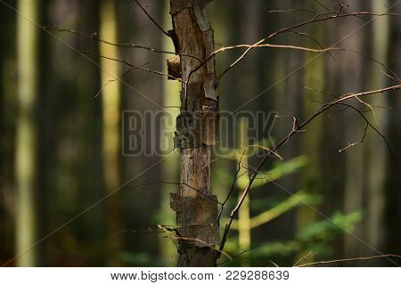 Old, Dry Trees In Autumn Forest Under Sunlight, Defocused. Deciduous Forest, Landscape. Trees Withou