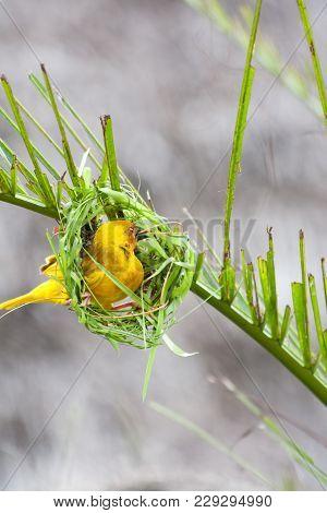 Golden Palm Weaver Bird (ploceus Bojeri) Is Making A New Nest