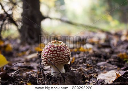 Little Amanita Growing In The Coniferous Forest.