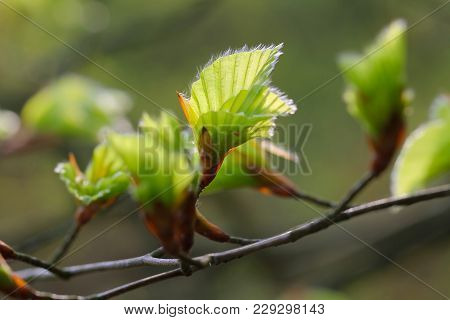 Beech Leaves Bloom On,  Nature Park And Nature Reserve  Lüneburger Heide, Northern Germany