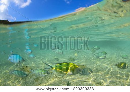 Half Underwater Of Sergeant Major Damsels Schooling To Feed Under The Surface.koh Tao .thailand