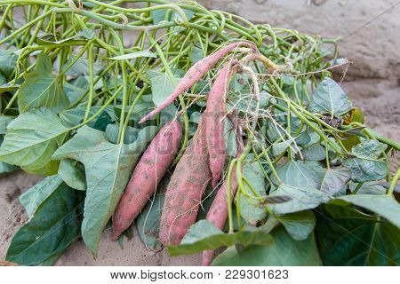 Harvest Sweet Potato Plant With Tubers In Soil Dirt Surface