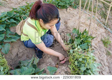 Asia Woman Farmer Harvesting Sweet Potato. Organic Vegetables