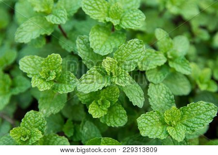 Green Peppermint Leaves Background. Fresh Peppermint Growing In The Garden