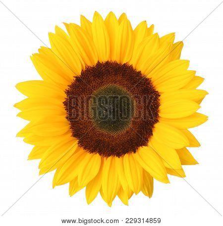 Wonderful Sunflower (helianthus Annuus, Asteraceae) Isolated On White Background. Germany