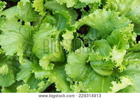 Green Lettuce Plants In Growth At Garden Top View. Fresh Lettuce Leaves Background