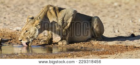 Large Lioness Drinking Water From A Small Pool In The Kalahari On A Hot Dry Day