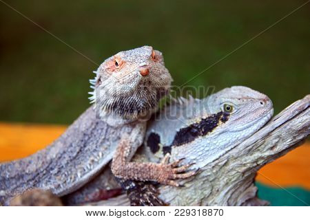 Pogona vitticeps spiky australian bearded dragon lizard