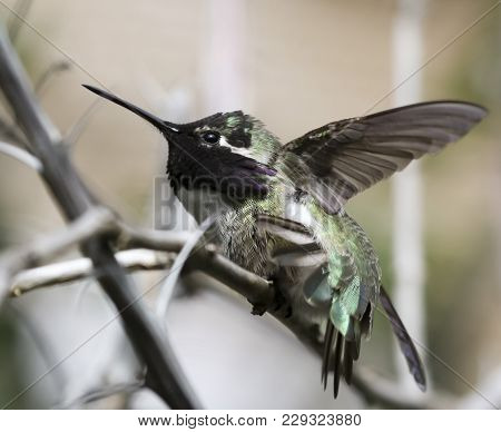 A Costa's Hummingbird Male Perched On A Branch