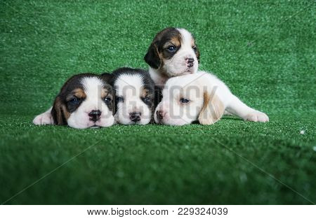 There Have 4 Puppy Beagles Lay Down On The Green Grass In Front Of Green Background Which Has Copy S