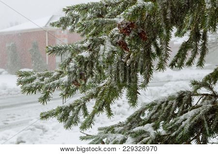 Spruce Trees Covered With Snow Evergreen Trees Snow Blizzard Focus On The Branch. Landscape.