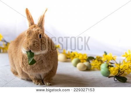 Easter Bunny Rabbit In Red Tan And White Color Surrounded By Spring Flowers Munches On Spinach, Room